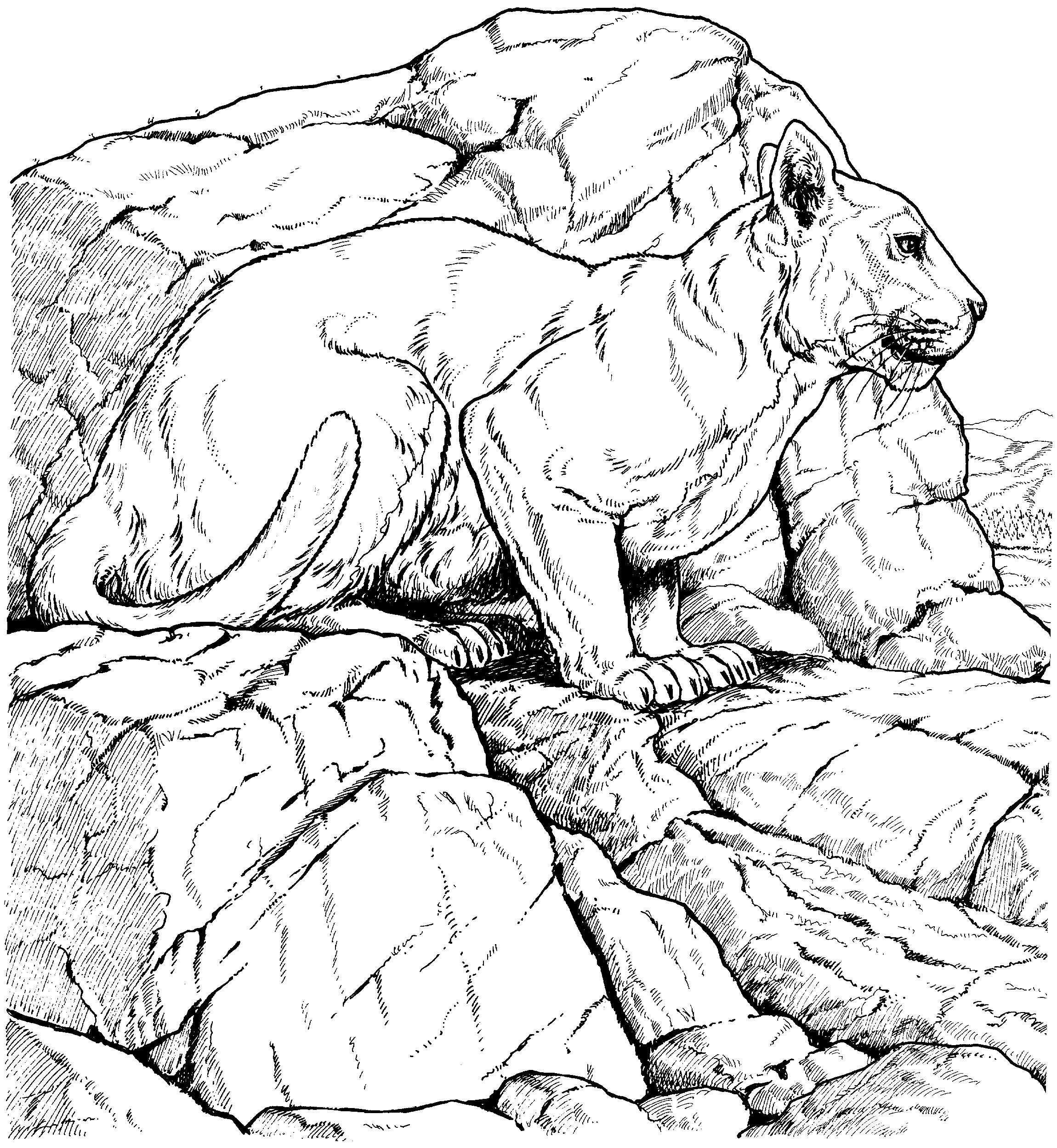 Картинки пантеры раскраска